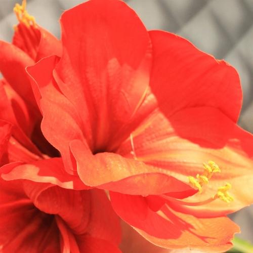 Амариллис 3 цветка и 1 бутон искусственный красный 75 см (real touch) - Фото 3