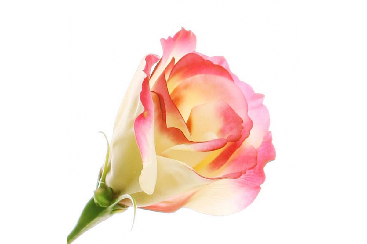 Лизиантус искусственный бело-розовый 80 см (Real Touch) - Фото 2