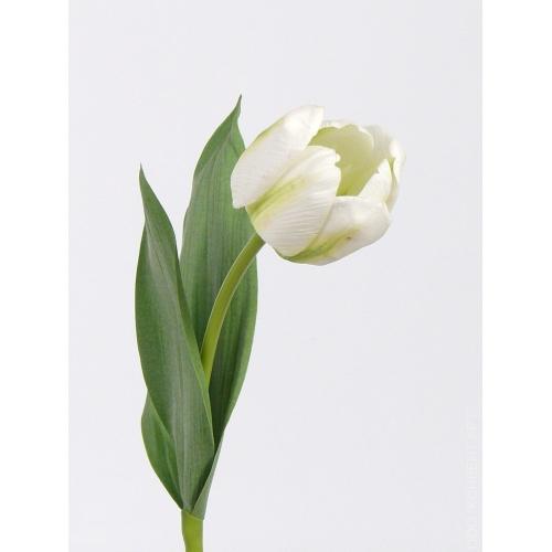 Тюльпан Королевский