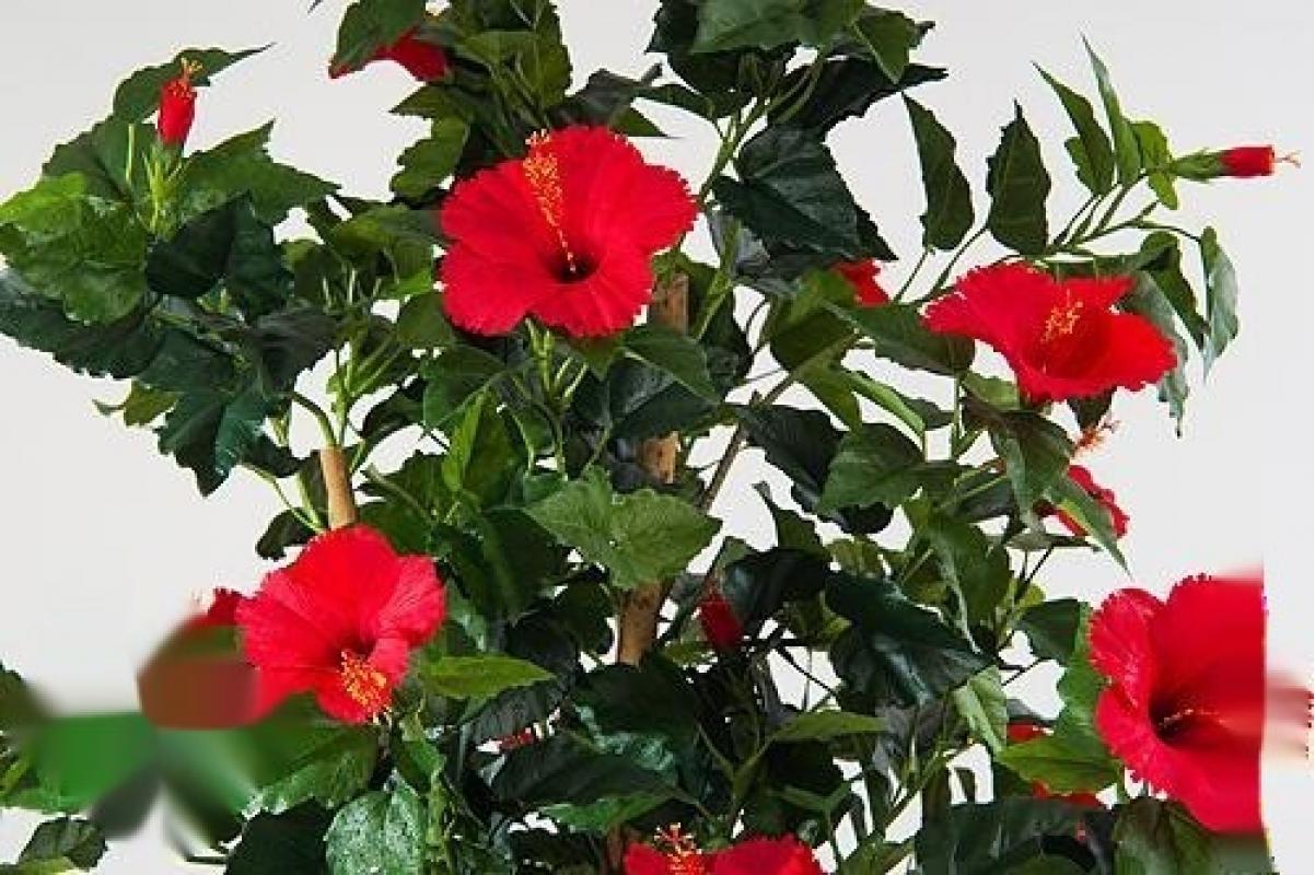 Гибискус искусственный Китайский цветущий красный 180 см - Фото 2