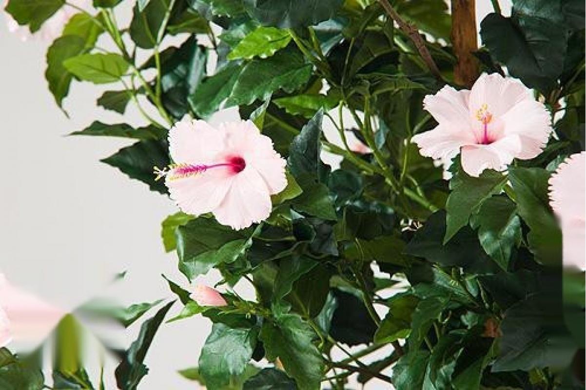 Гибискус искусственный Китайский цветущий розовый 180 см - Фото 2