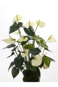 Антуриум Куст искусственный белый без кашпо 80 см