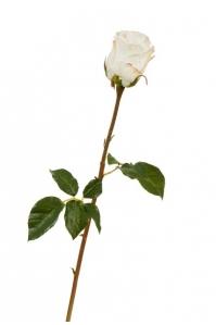 Роза Аква искусственная белая с нежно-розовой каймой 56 см