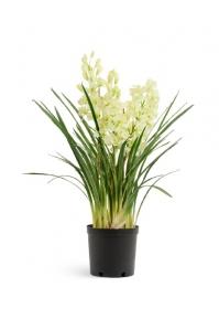 Искусственная Орхидея Цимбидиум бело-лаймовый куст в кашпо 125 см