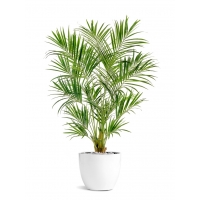 Пальма Кентия (Ховея) искусственная в белом кашпо 225 см