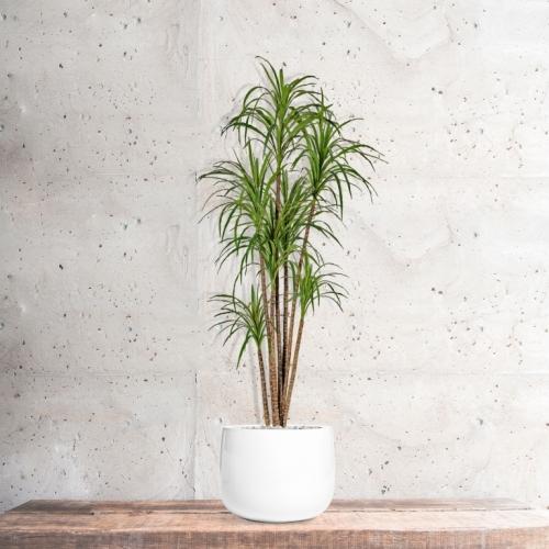 Драцена Маргината искусственная в белом кашпо 200 см - Фото 5