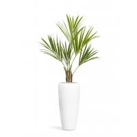 Пальма Кентия (Ховея) искусственная в белом кашпо 175 см