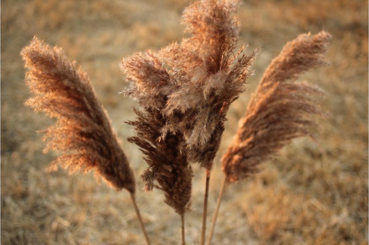 Сухоцвет - Пампасная трава (Кортадерия) коричневая 12 колосков 83 см - Фото 2