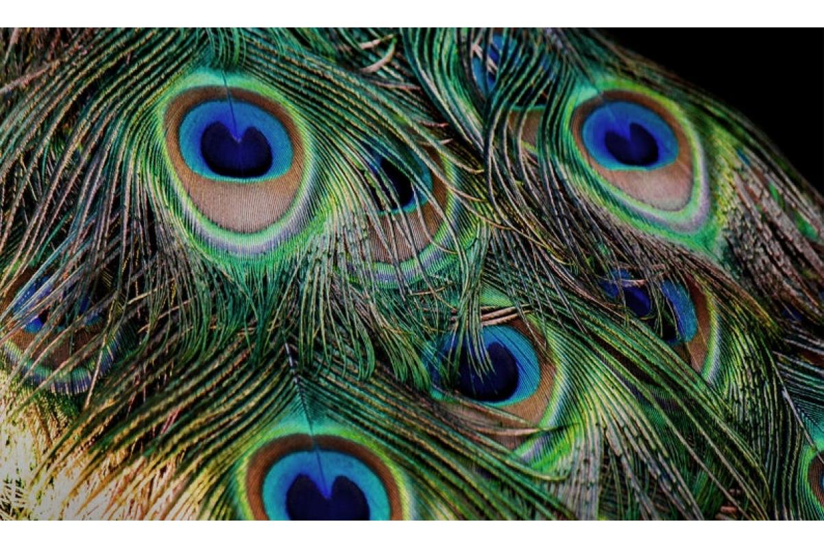 Павлинье перо натуральное 85 см - Фото 4