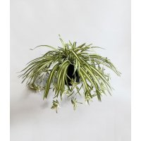Хлорофитум Хохлатый куст искусственный в черном кашпо 25 см