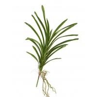 Листья орхидеи Ванды искусственные с корнями большие зеленые 50 см